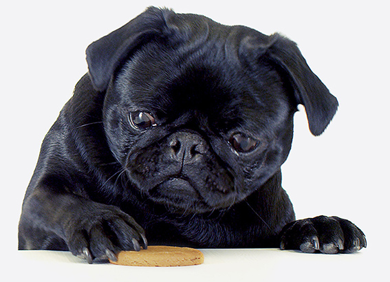 besavvi loans pug eating a biscuit