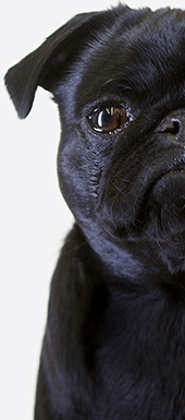 besavvi loans pug looking for an unsecured personal loan