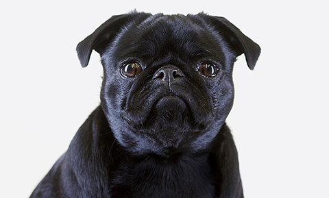 besavvi loans pug reading about unsecured personal loans
