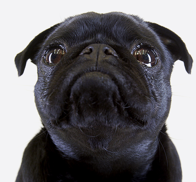 besavvi loans pug staring at loans calculator